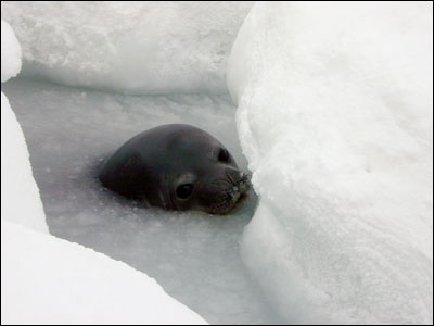 Weddell seal in water hole