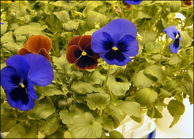 Pansies in the greenhouse
